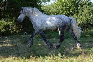 UNIVERS 19 - trait percheron